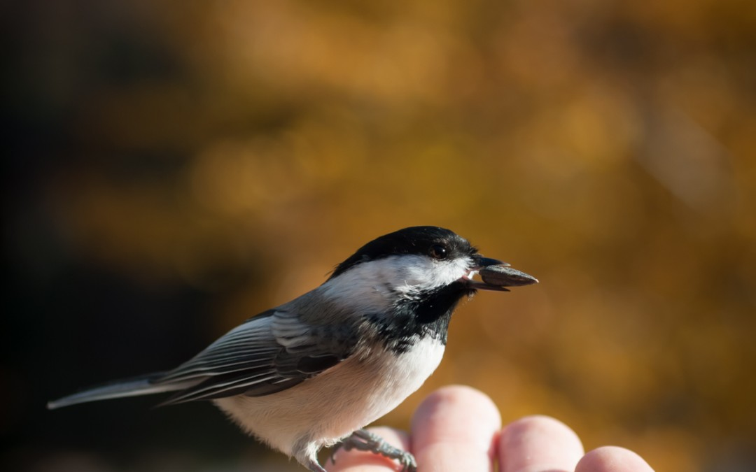 My New Chickadee Friend